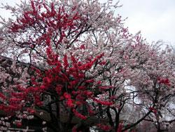 御苑の桜。一本の木に色々な色の桜が咲いていて圧巻です!