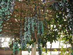 御苑の中の温室。ヒスイカズラの花。
